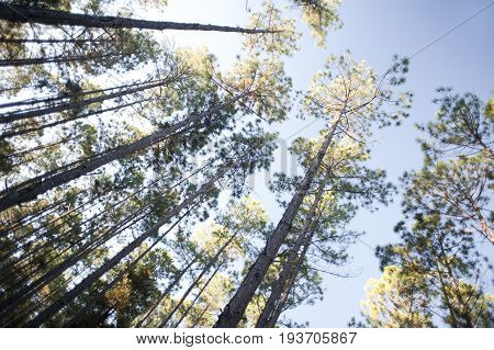 Looking up into a tall plantation of trees with leafy canopies against a blue summer sky in a renewable energy forestry and fuel concept