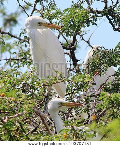 White snowy Egret bird standing in a tree
