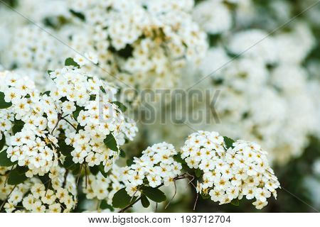 Detail of a cluster of white flower of the spirea /close-up of white spirea flowers