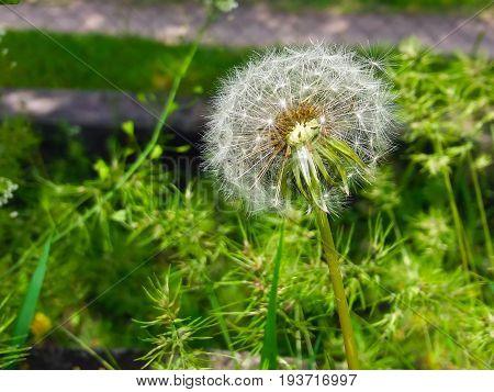 Easy fluffy dandelion ready to go on a flight.