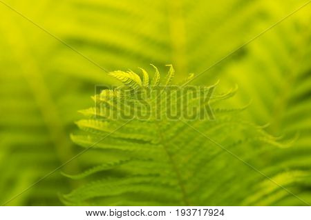 Fern close-up with sunlight. Ferns can be used as a background. Selective focus
