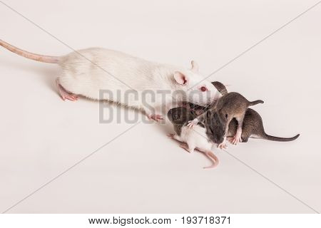 Rat mom with little rats on white background