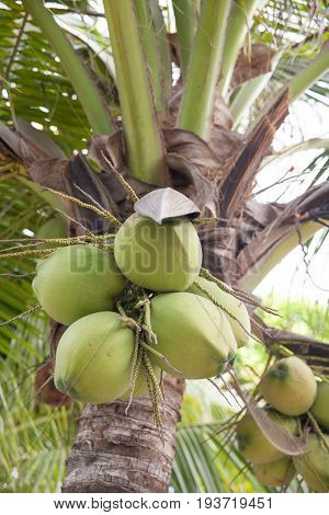 Closer of green fresh coconut cluster on Tree.