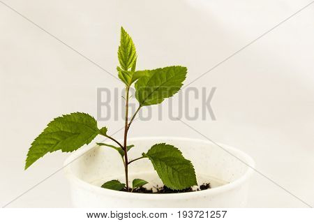 small sprout of an apple tree in a white pot on a light background