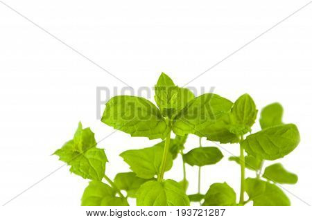 Close-up sprouts of spicy grass mint on white background