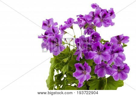 A lushly flowering geranium flower of pink color in a pot on a white background