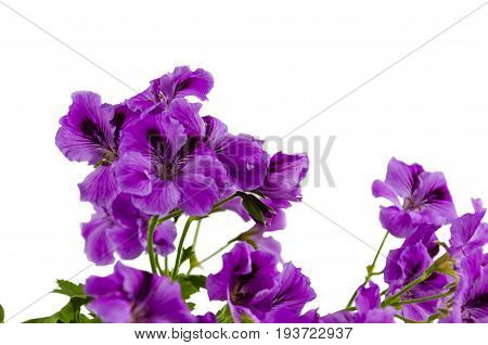 Blossoming geranium flowers of pink color on white background close-up