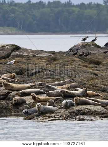 Seals live in colonies on beaches Castine USA