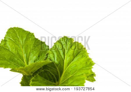 young green leaves of begonias on a white background