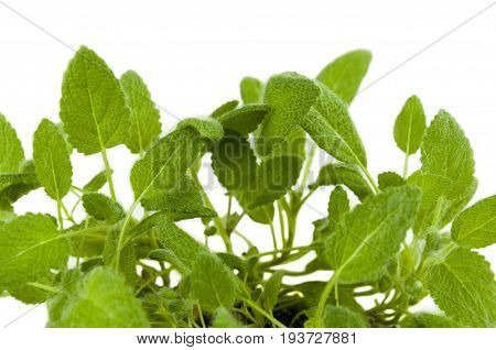 the sage Bush with furry leaves on white background
