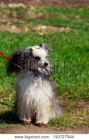 Chinese Crested dog is sitting on the grass