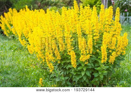 Lysimachia Punctata Yellow Loosestrife plants flowers blossoming in summer time