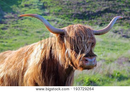 A Highland cow near Elgol, Isle of Skye, Highlands, Scotland, UK