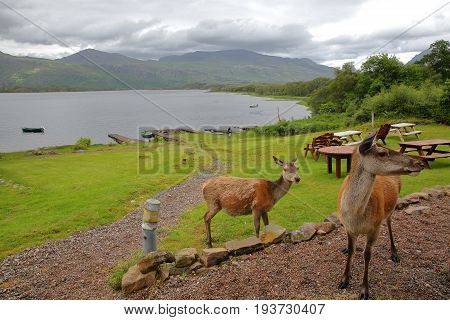 HIGHLANDS, UK - JUNE 24, 2017: Red Deers on the shore of Loch Maree in the western part of the Northern Highlands, Scotland