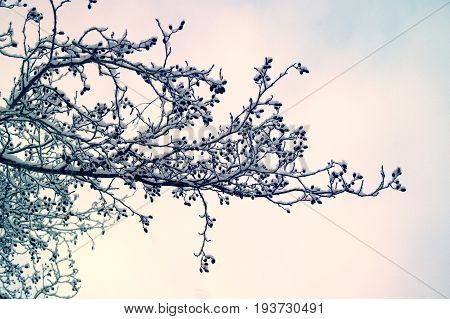 Beautiful winter season specific photograph in nature. Large group of branches and the trees covered in snow and ice. Gorgeous violett, pink, white and blue sky background.