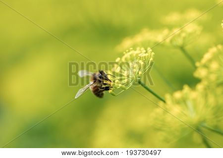 Dill herbs flower with bee macro, Dill herbs inflorescence in a garden