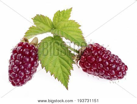 loganberry fruit or red blackberry . A hexaploid hybrid produced from pollination of a plant of the octaploid blackberry  cultivar Aughinbaugh by a diploid red raspberry. Isolated on white background
