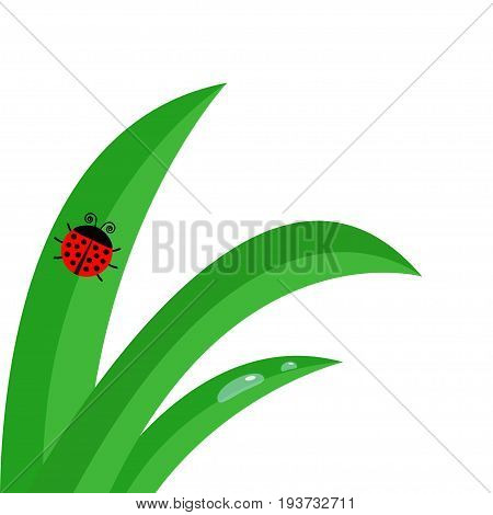 Green fresh grass stalk close up. Water morning drop set. Ladybug Ladybird insect. Cute cartoon baby character. Garden nature decoration element. Flat design. White background. Isolated. Vector