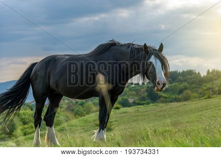 Friesian horse in the pasture. Beautiful mare of friesian horse with long mane.