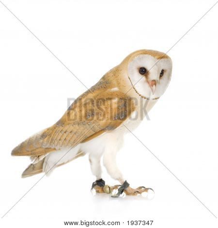 Common Barn Owl (4 mounths) in front of a white background poster