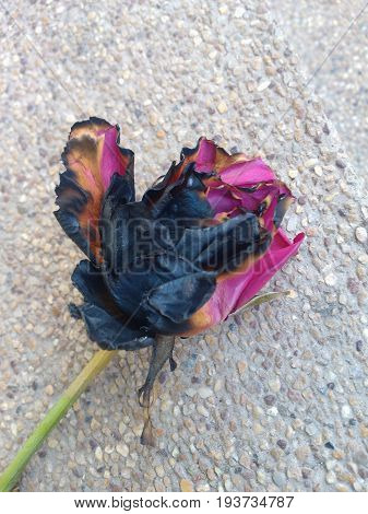 Semi ashes pink rose burnt from fire.