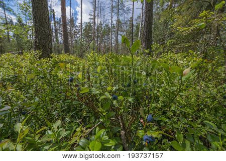 Peat bogs with black berries (Vaccinium myrtillus ) - National Nature Reserve - Cervene blatoTrebonsko Crech republic Europe