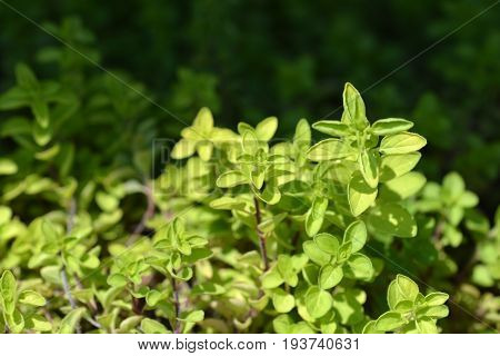 Close up of green thyme sprigs in summer