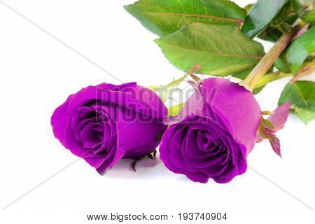 Two violet roses isolate on white background.