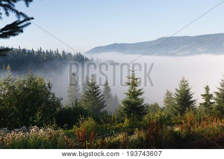 Evergreen forest and mountain hills overview. Tops of tall green trees in dense morning fog, landscape background
