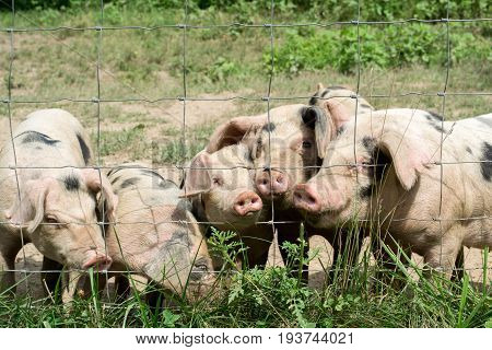 A group of happy little pigs on the farm.