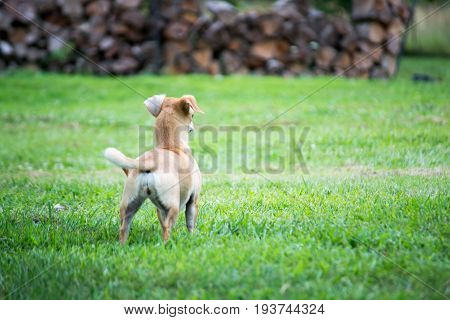 Small dog in the grass looking away.