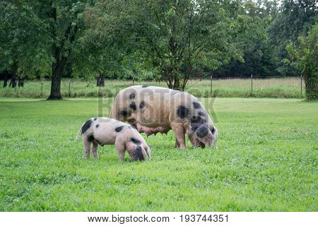 Little Pig with its Mother on the farm