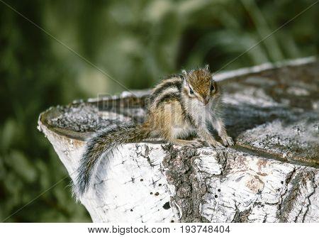 Eastern Chipmunk sitting on a birch stump