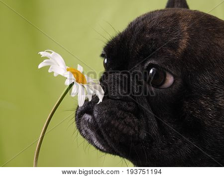 Funny face bulldog dog sniffing a flower.