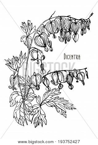 Bleeding Heart flower. Hand drawn black and white vector illustration with blooming dicentra flower