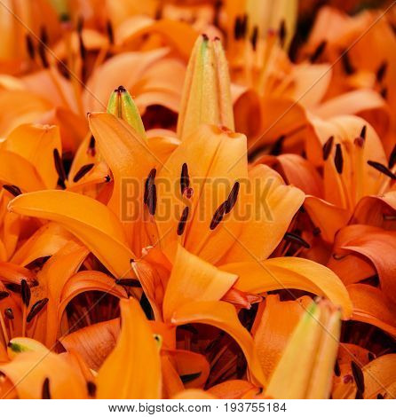orange lily in detail - close up