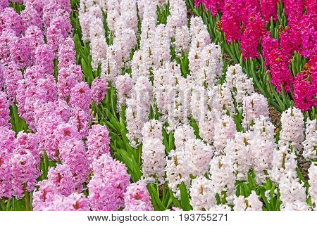 hyacinths in the spring garden - close up