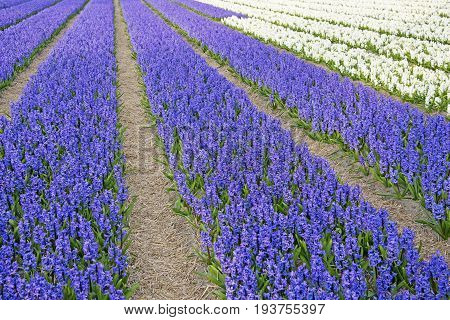 a field with hyacinths - close up