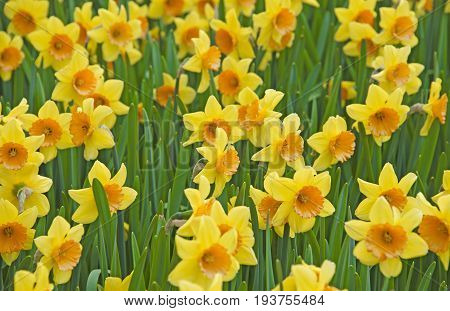 spring yellow daffodils - in the garden