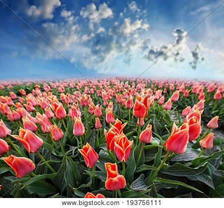 a tulips field and a blue sky