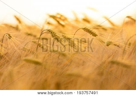 Close up macro shot of golden field of barley crops growing on farm at sunset or sunrise
