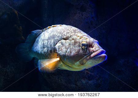Giant grouper Epinephelus lanceolatus , also known as banded rockcod.
