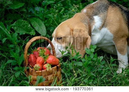 The Beagle dog sniffing in the summer garden freshly picked red strawberries in a wicker basket