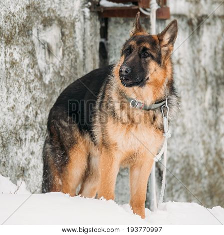 Beautiful Young Brown German Shepherd Alsatian Wolf Dog Staying Outdoor Near Wall At Winter