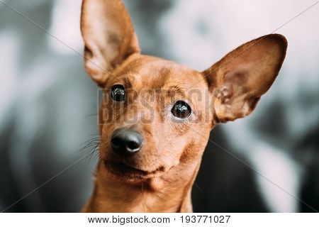 Red Young Adult Brown Miniature Pinscher Pincher Min Pin Close Up Portrait
