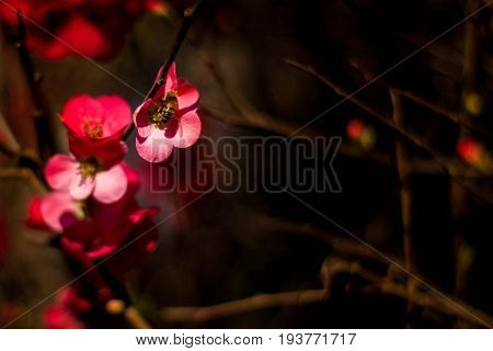 Small bee taking nectar on small red flowers