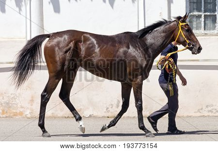 PYATIGORSK,RUSSIA-JULY 02,2017:Beautiful horse of thoroughbred breed after horse racing - one of the oldest and largest racecourse in Russia in Pyatigorsk.