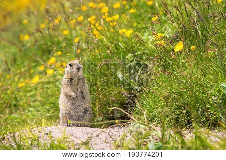 Close up Scouting Caucasian ground squirrel carefully watching