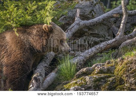 brown bear - Ursus arctos in nature