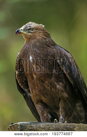 Aquila clanga - eagel - close up